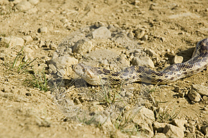 Pacific Gopher Snake Royalty Free Stock Images - Image: 2282959