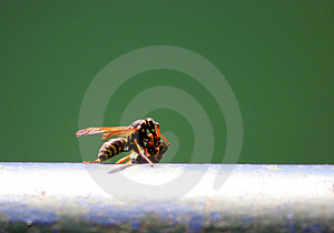 Wasps Stock Photo - Image: 2284080