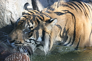 Tiger Bite Stock Photography - Image: 2286782
