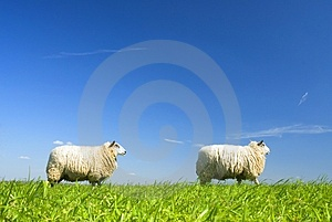 Two sheep walking by on grass Stock Images