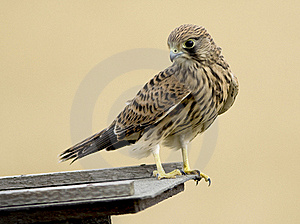 Common Kestrel Bird Royalty Free Stock Photography - Image: 22818087