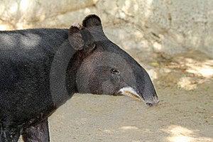 Tapir Royalty Free Stock Photography - Image: 22825957