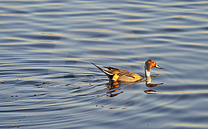 Swimming Male Pintail Duck, (Anas Acuta) Royalty Free Stock Images - Image: 22830029
