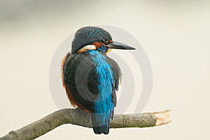 Common Kingfisher (Alcedo Atthis) Stock Photography - Image: 22832162