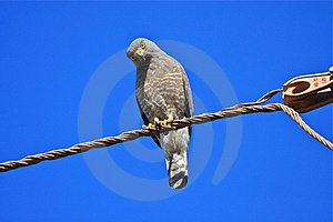 Roadside Hawk Perched On A Wire Royalty Free Stock Photos - Image: 22838968