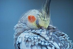 Cockatiel Stock Photography - Image: 22844342