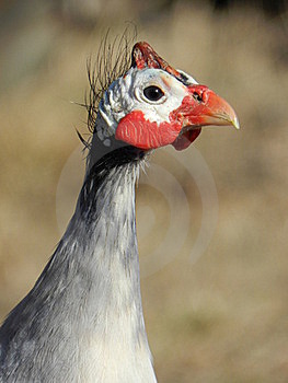 Guinea Fowl Stock Photography - Image: 22850382