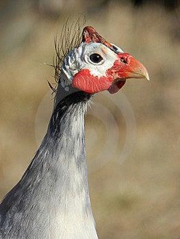 Guinea Fowl Stock Photography - Image: 22850382