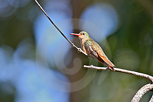 Cinnamon Hummingbird Royalty Free Stock Image - Image: 22851196
