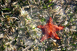 Cushion Sea Star Starfish In Shallow Water Royalty Free Stock Images - Image: 22852079