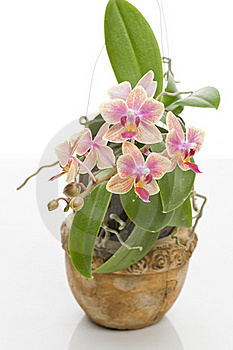 Flower Of Blooming  Phalaenopsis Orchid Royalty Free Stock Images - Image: 22854399