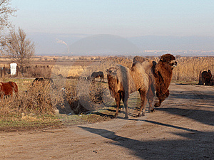 Camels. Royalty Free Stock Photography - Image: 22880127