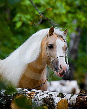 Welsh Horse In Wood Royalty Free Stock Photo - Image: 22883895