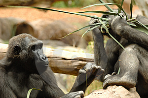 Ape Eating Royalty Free Stock Photos - Image: 2292158