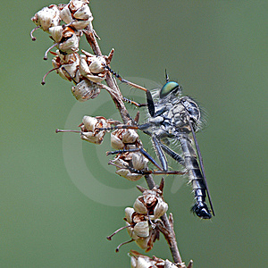 Robber Fly Stock Image - Image: 22903211