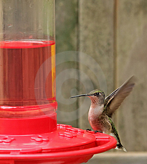 Ruby-throated Hummingbird, Archilochus Colubris Stock Image - Image: 22910611