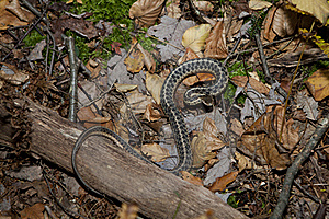 Garter Snake Royalty Free Stock Photography - Image: 22915357