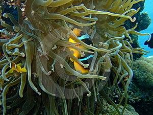 Clown Fish Royalty Free Stock Photo - Image: 22918615