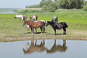 Horses Standing On River Royalty Free Stock Photos - Image: 22925608