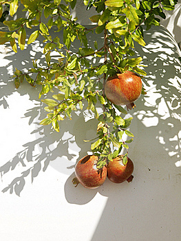 Pomegranate  Branch Royalty Free Stock Photo - Image: 22941105
