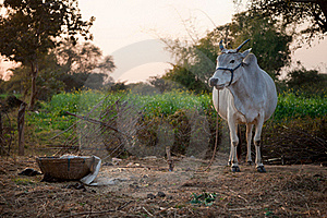 Indian White Cow In Farmland Stock Images - Image: 22946744