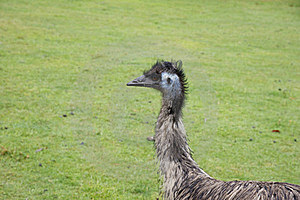 Ostrich Royalty Free Stock Photo - Image: 22975295