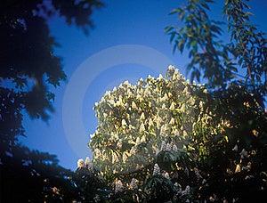 Chestnut Blossoms. Stock Photos - Image: 22980353