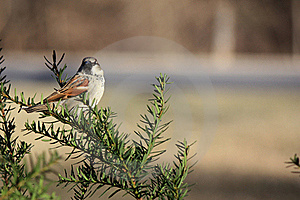 Sparrow Perched In Bush Royalty Free Stock Image - Image: 22983896