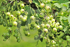 Green Currants Growing On Shrub Stock Photos - Image: 22990653