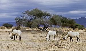 Antelope Oryx In Hai Bar, Israel Stock Photography - Image: 22997242