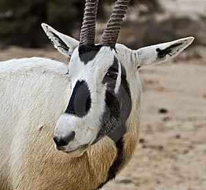 Antelope Oryx In Hai Bar, Israel Stock Images - Image: 22997454