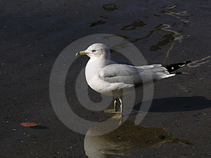 En Lone Seagull Royaltyfria Bilder