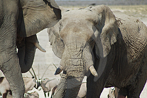African Elephants Free Stock Photo