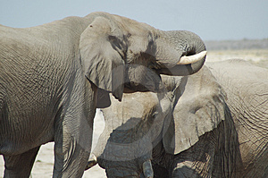 African Elephants #2 Free Stock Image
