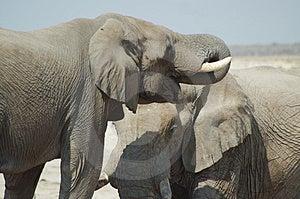 Elefanti africani #2 Immagine Stock Libera da Diritti