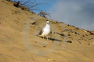 Gaivota na praia Imagens de Stock