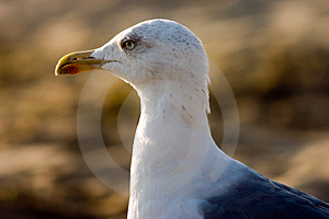 Seagull na plaży Zdjęcie Stock
