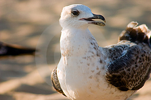 Seagull On Beach Free Stock Images