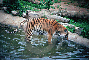 Siberan Tiger Drinking Stock Photo