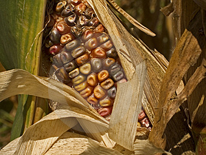 Indian Corn Close-up Free Stock Photos