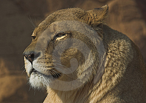 Lioness Free Stock Photo