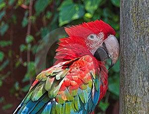 Scarlet Macaw Free Stock Image