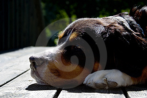 A Bernese Mountain Dog Free Stock Images