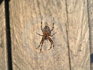 Spider Free Stock Images