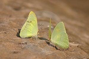 Yellow Butterflys Stock Photo