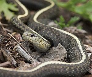 Garden Snake Free Stock Image