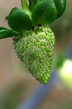 Unripe Strawberry Royalty Free Stock Image