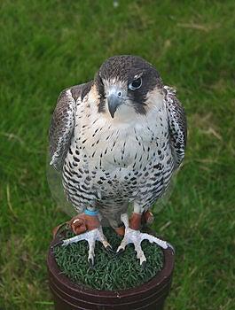 Falcon Free Stock Photos