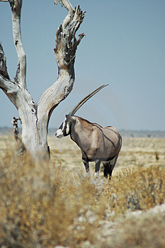Gemsbok In Etosha Stock Photo