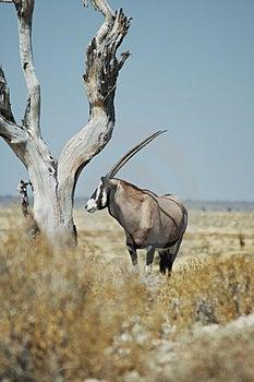 Gemsbok in Etosha Stock Photo